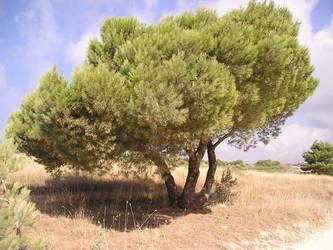 croatian tree- premantura 2004 by hamoneye