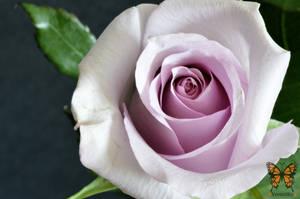 Rose by VerenSky