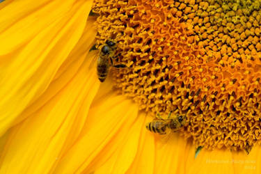 Bee my Sunflower