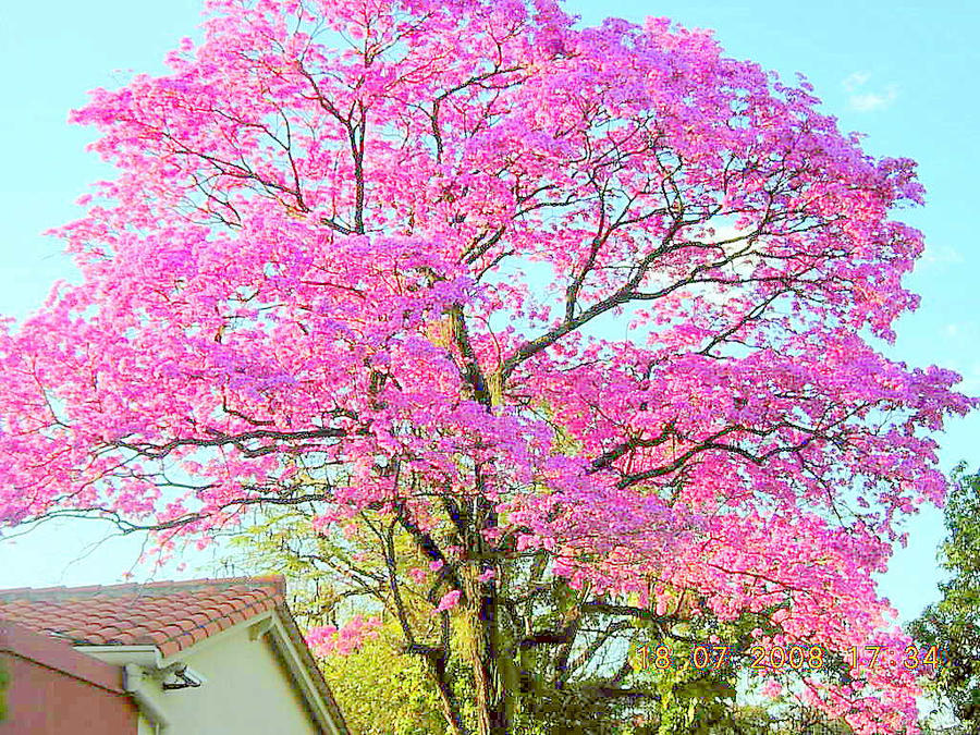 the pink tree tajy by - Pink Trees