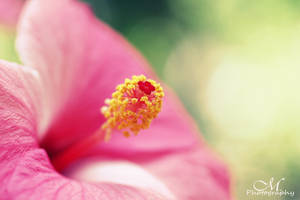 Hibiscus.2 by MartinaPhotography