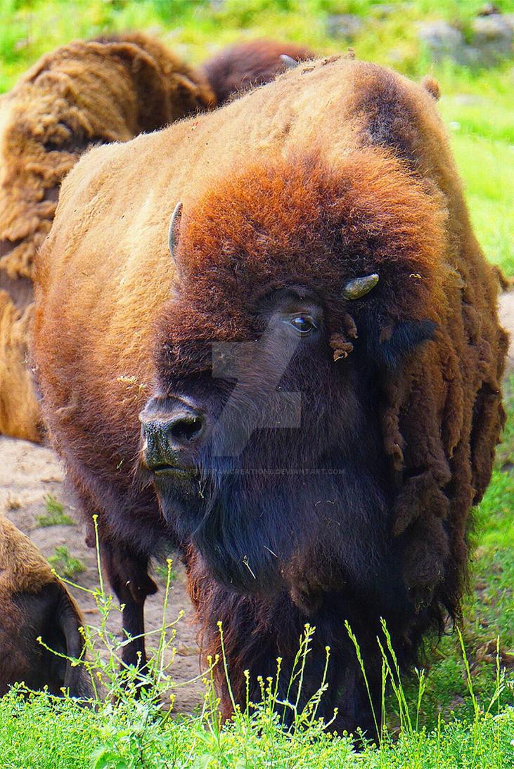 Buffalo  by PantherPawCreations