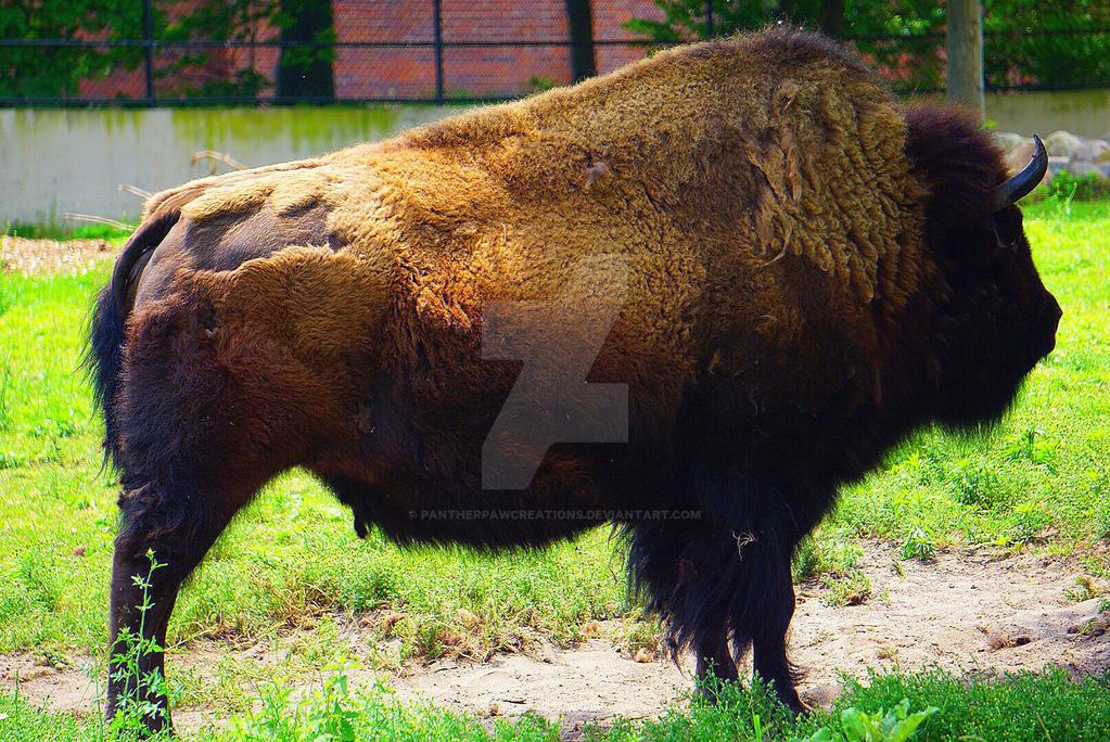 Buffalo 2 by PantherPawCreations