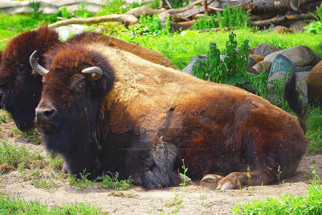 Buffalo 3 by PantherPawCreations