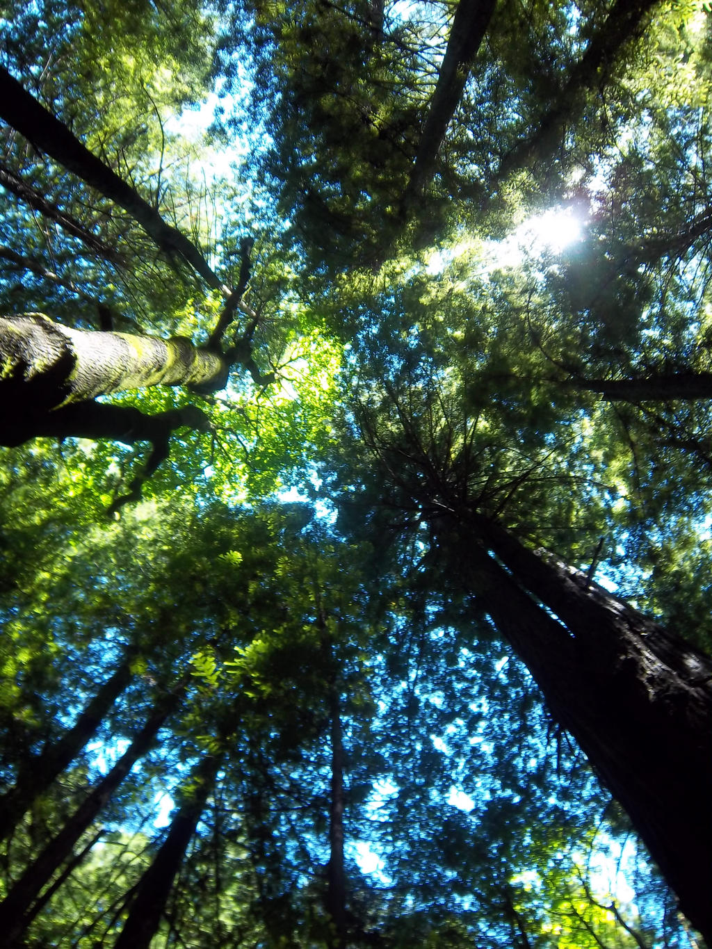 Redwood Forests by LeadDragonRider