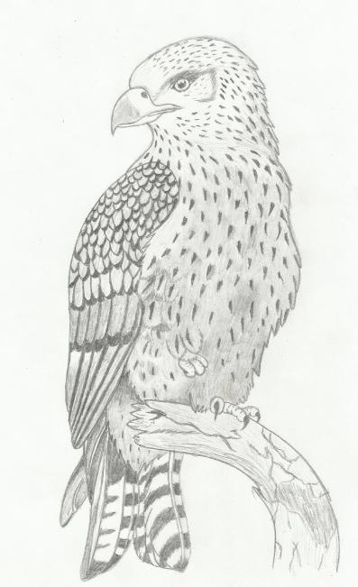 hawk pencil drawing by hedamiu on deviantart