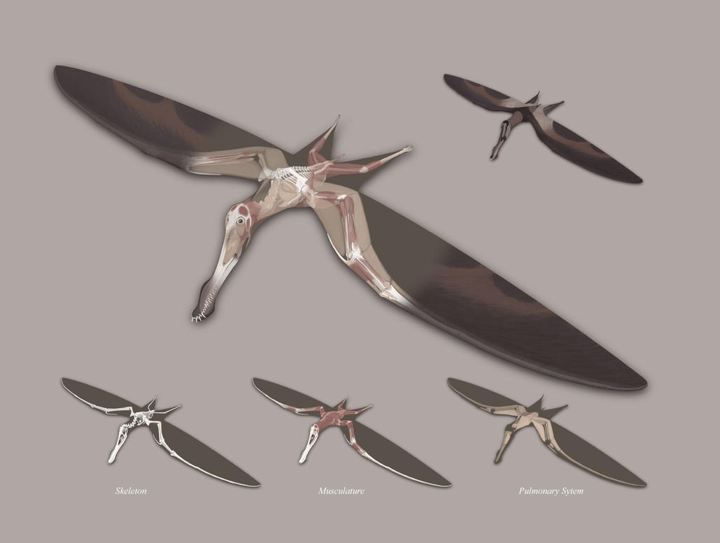 http://th00.deviantart.net/fs24/PRE/f/2008/010/7/5/The_Structure_of_a_Pterosaur_by_jconway.jpg