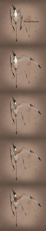 Dissecting Rhamphorhynchus