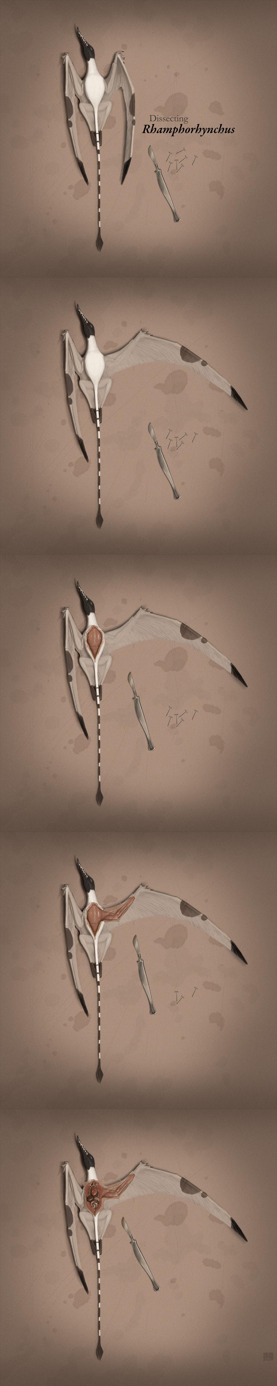 Dissecting Rhamphorhynchus by jconway