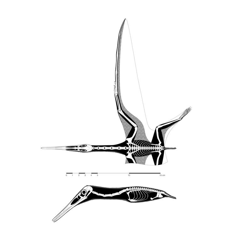 Pterodactylus kochi skeletal by jconway