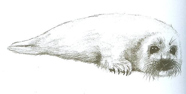 harp seal by simpson freak on deviantart