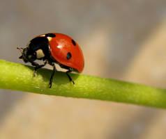 Ladybug by ogghunter