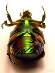Beetle Underbelly