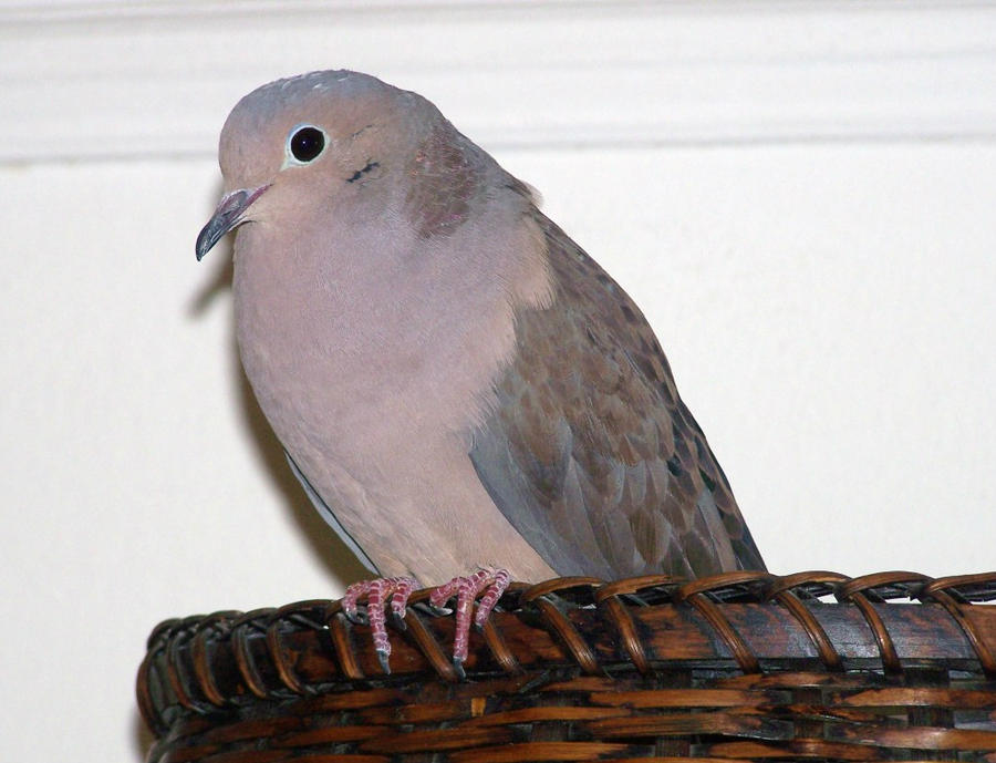 My_Dove_2 by LuLupoo