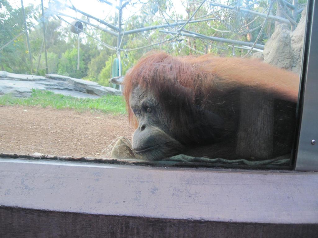 sd zoo orangutan by 6goose1994