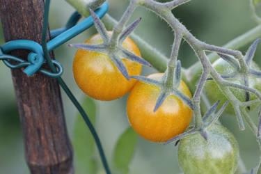 Golden cherry tomatoes. My favorite.