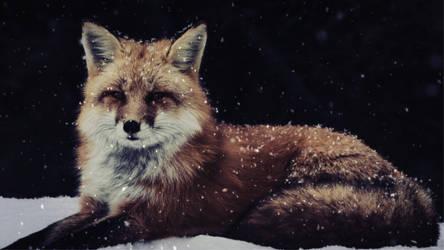 Winter red fox.