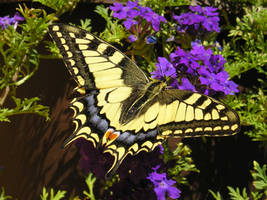 butterfly by bebom