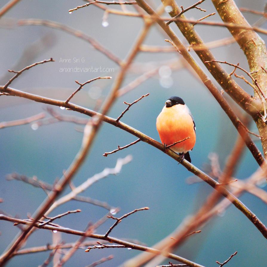 Bullfinch by anxiri
