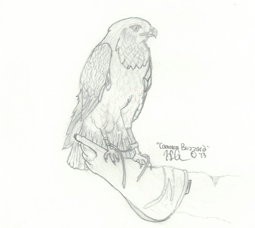 Buzzard drawing RC day 1 by ButeoGirl on deviantART