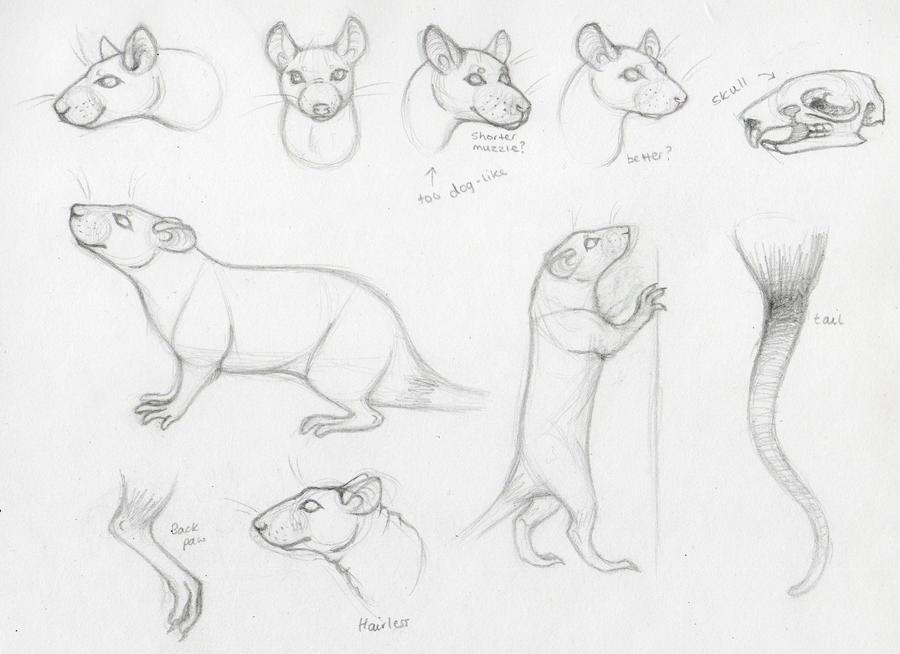 Rat Anatomy Practice by trik-s on DeviantArt