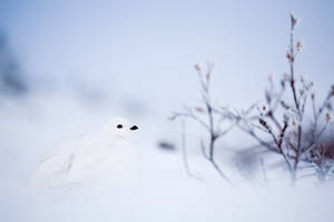 Ptarmigan in the snow by softflower