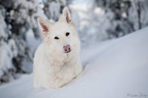 White Swiss Shepherd 2 by softflower