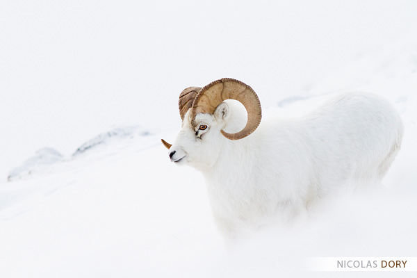 Dall sheep ram by softflower