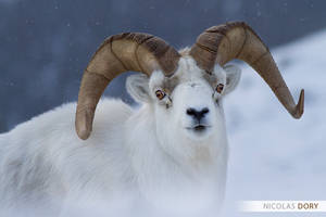 Dall sheep by softflower