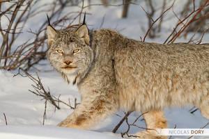 Canadian Lynx by softflower