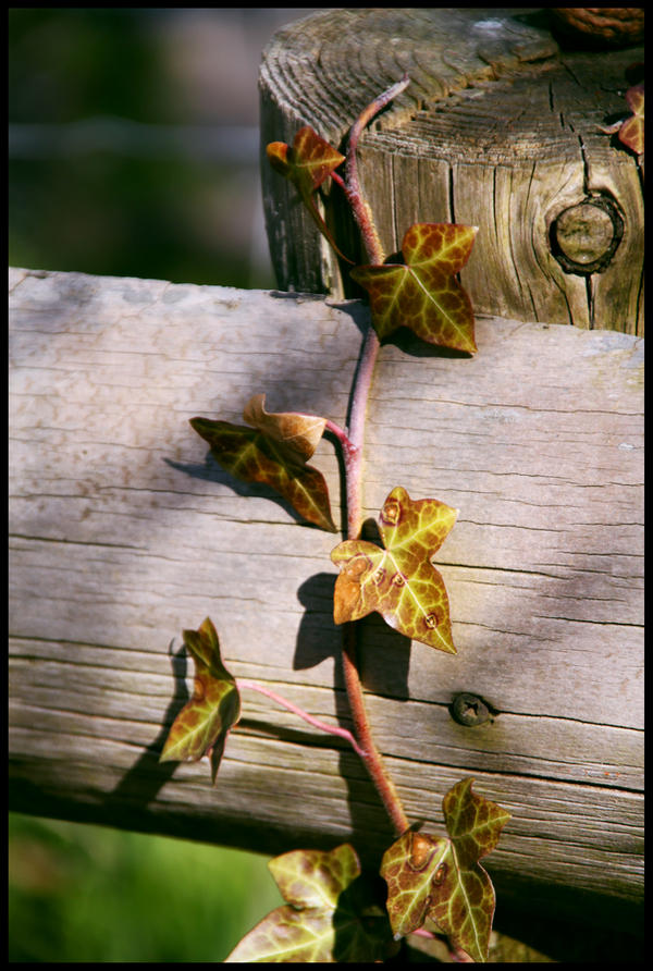 Ivy by Kinderwald