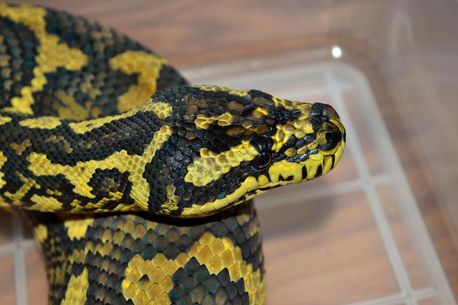 Jungle Carpet Python Elegy by RedFangReptiles on DeviantArt