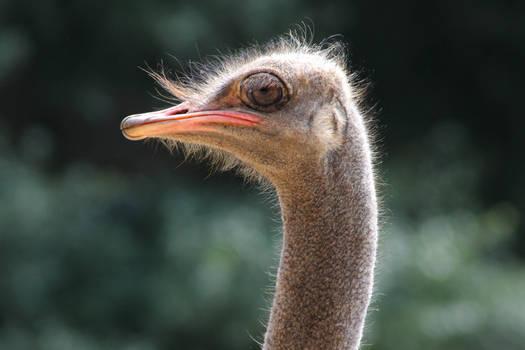 Fabulous Ostrich