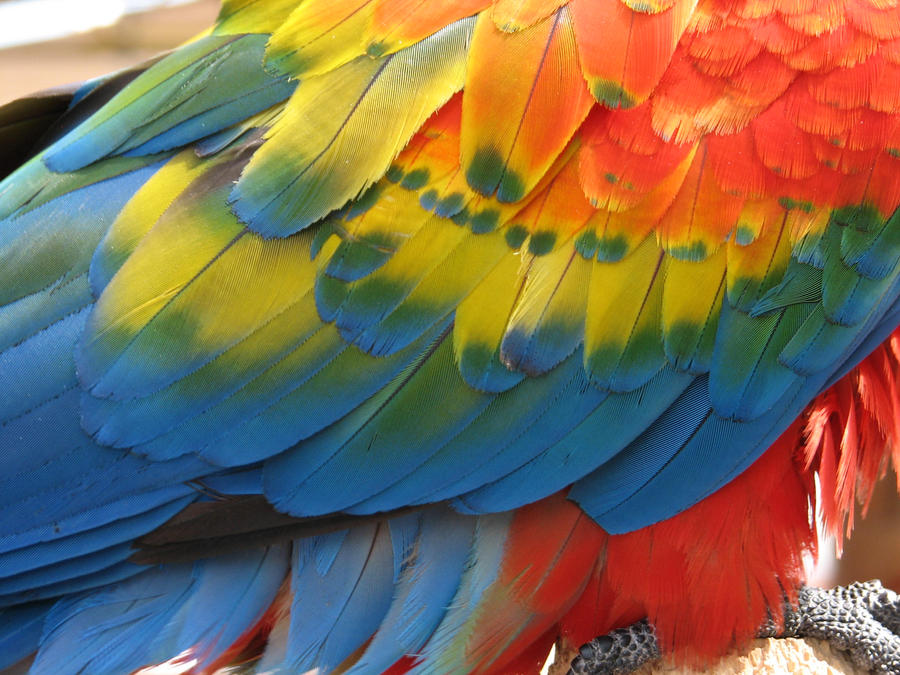 Parrot feathers - photo#18