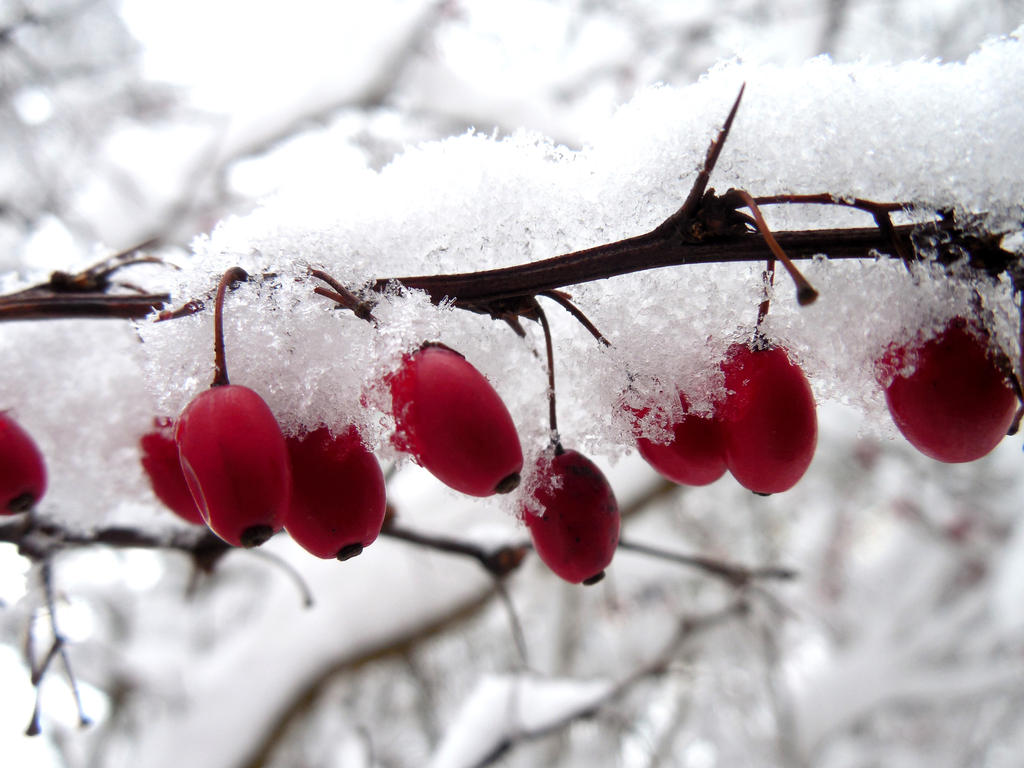 Winter Berries by evangeline40003