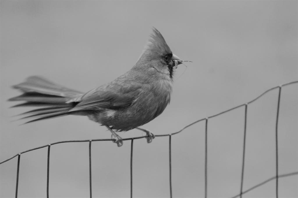 Atypical Cardinal