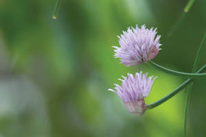 Blooming Chive by HubyLaaner