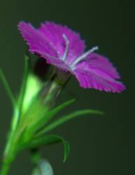 Purple flower by Peachttea