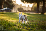 Bunny Aussie by XetsaPhoto