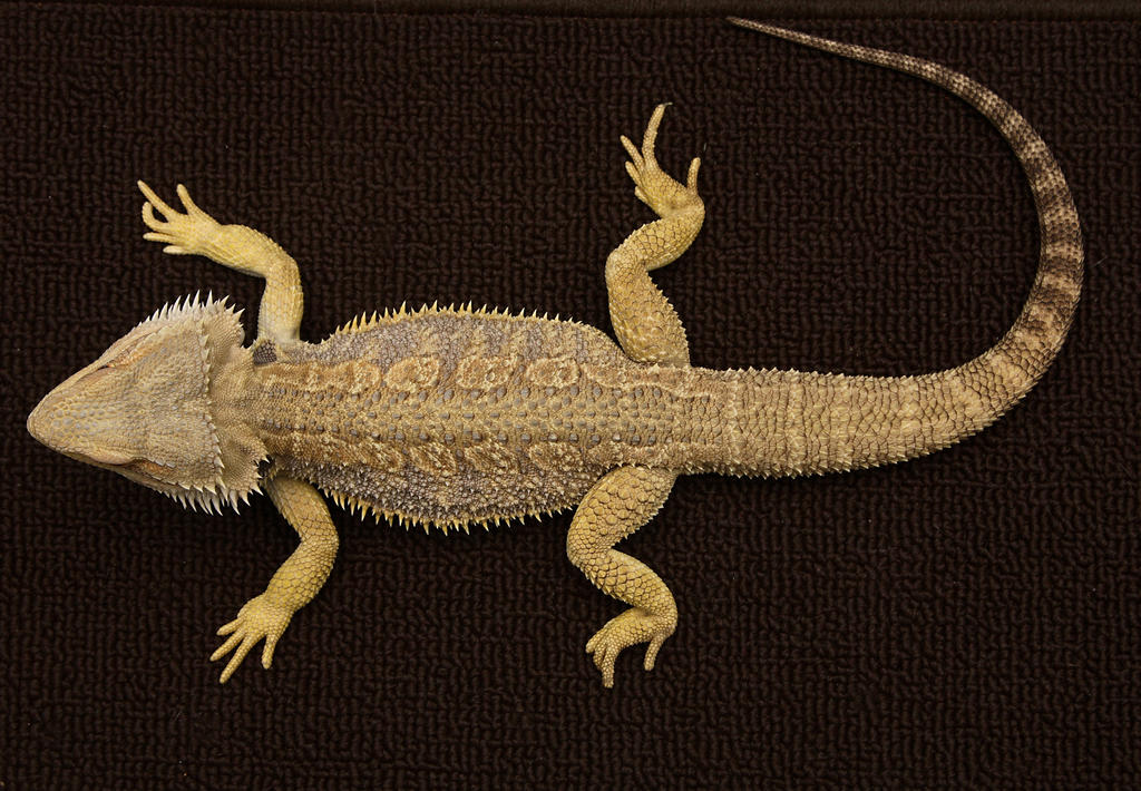 Bearded dragon 3 by NickiStock