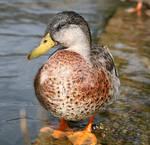 Duck pose