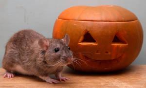 Halloween Season- Pumpkin Rat1 by NickiStock