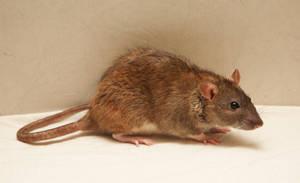 Rat-stock-3 by NickiStock