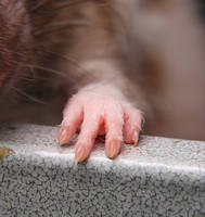Rat Paw by NickiStock