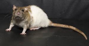 Tamarind3 rat stock by NickiStock