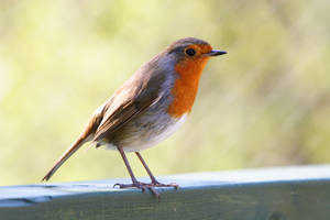 Rob the Robin by NickiStock