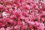 pink Flowers texture
