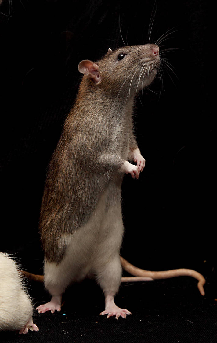 stand rat stock by NickiStock