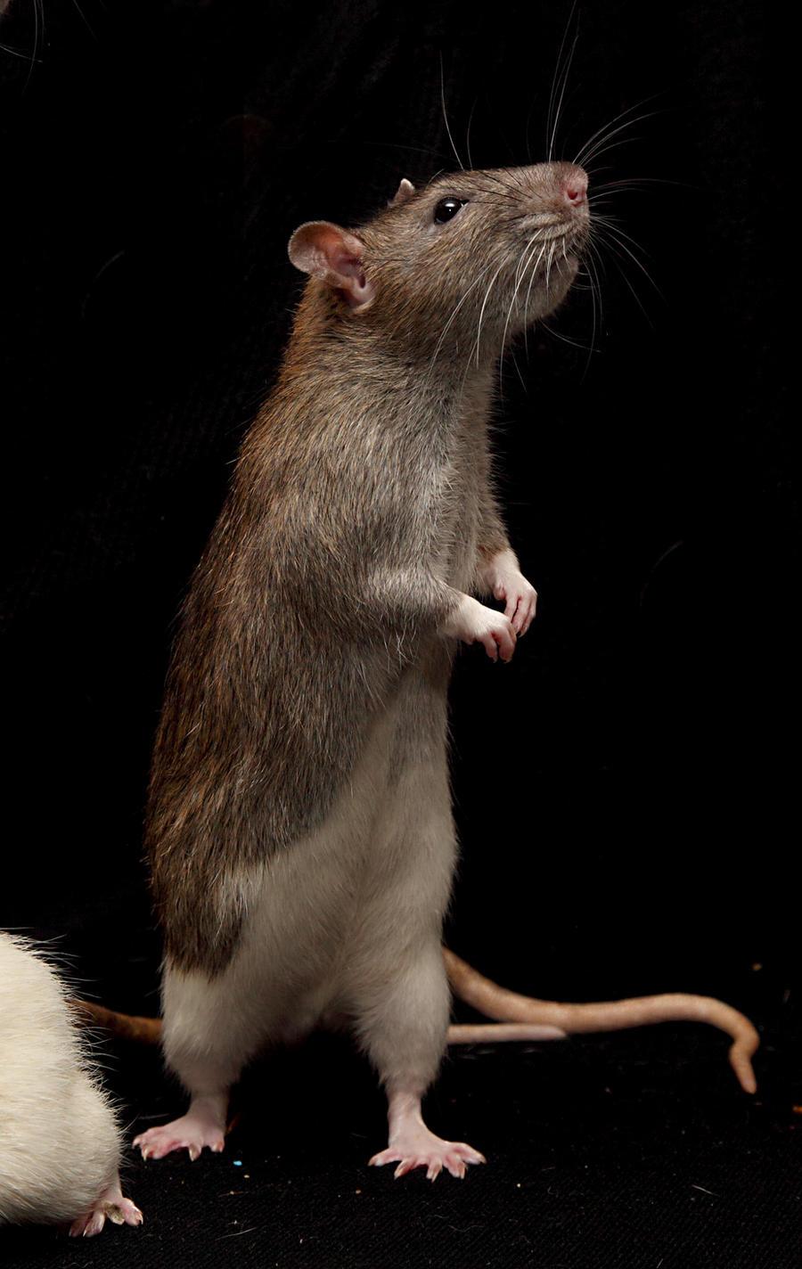 stand rat stock