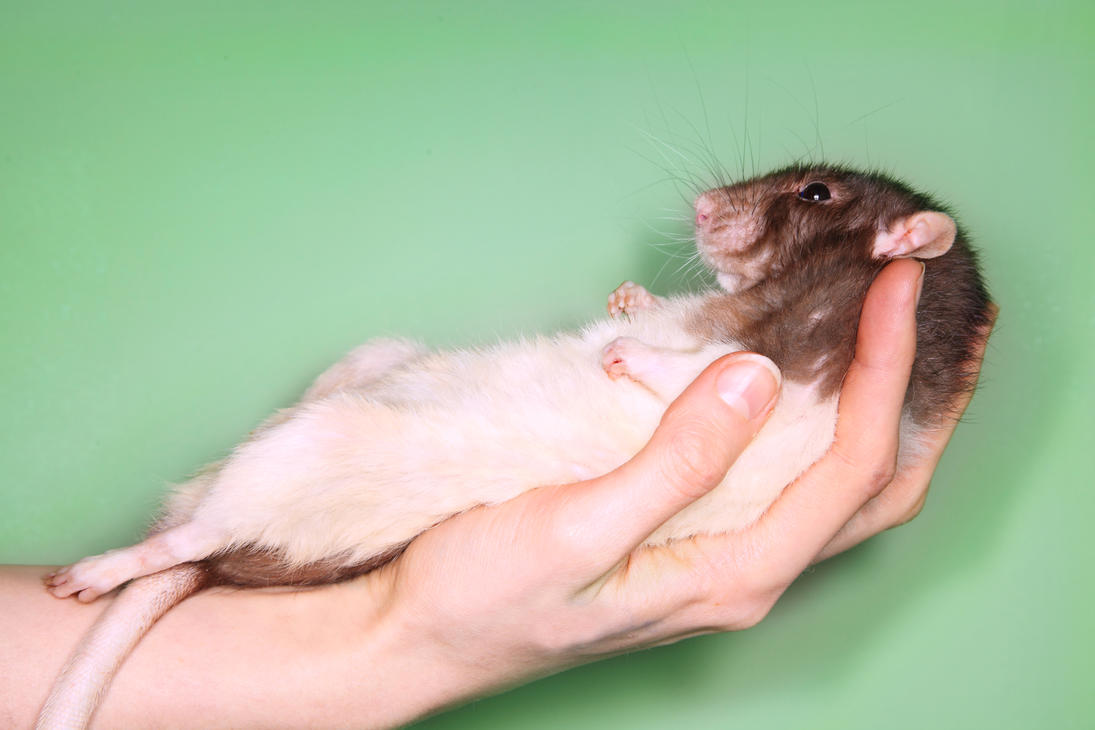 A rat in the hand - STOCK IMAGE by NickiStock
